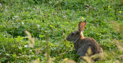 European_rabbit_J2
